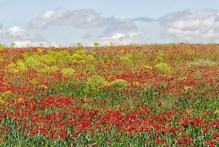 view of red flowers plantation in Midelt morocco in the road to Merzouga desert